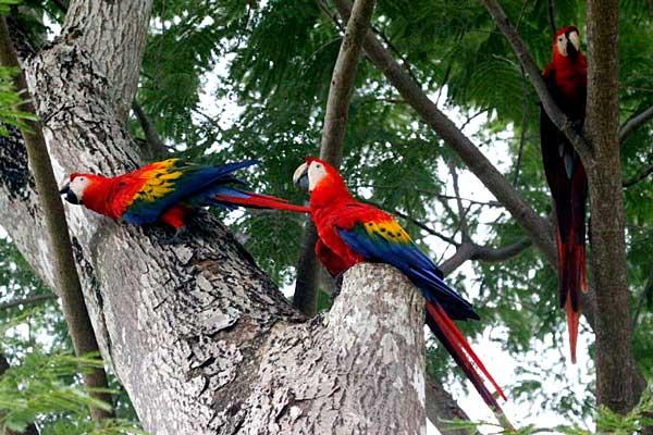 Des aras rouges du Parque Nacional Carara