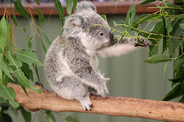 Koala de Brisbane