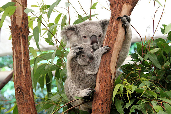 Photo de Koalas prise à Brisbane