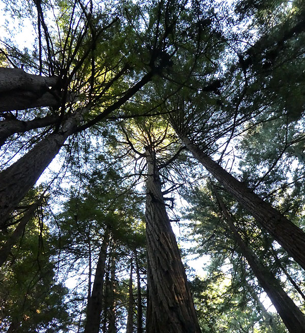 Les Muirs près de San Francisco