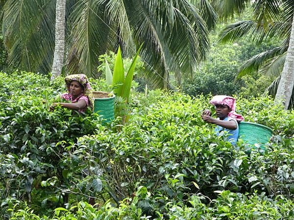 Récolte du thé Ceylan