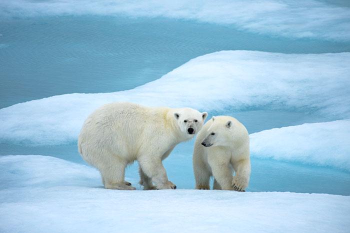 Ours polaires en région Arctique