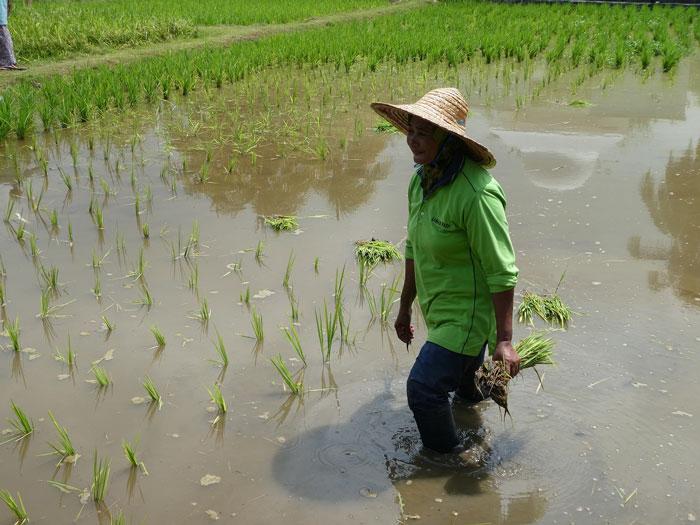 Re-plantage du riz